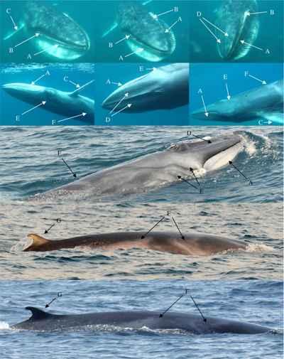 ballenas de Omura avistadas en Madagascar