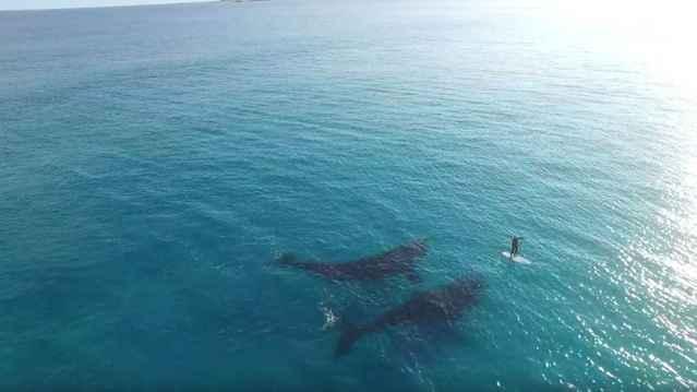 ballenas junto a un palista de surf