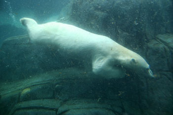 buceo de un oso polar