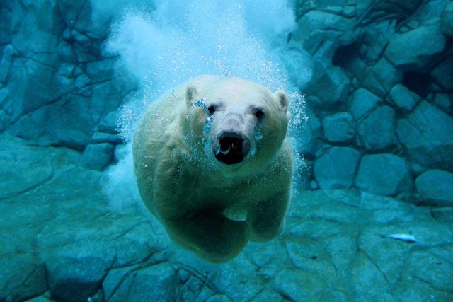récord de buceo de un oso polar
