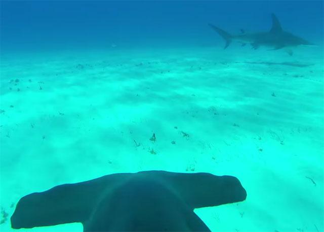 camara montada en un tiburón martillo