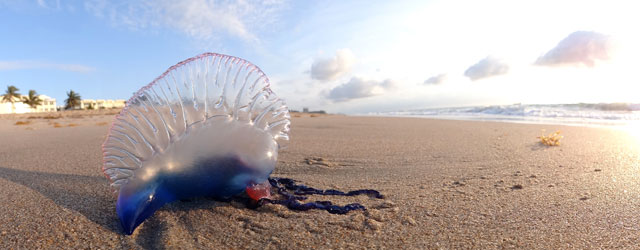 carabela portuguesa en una playa