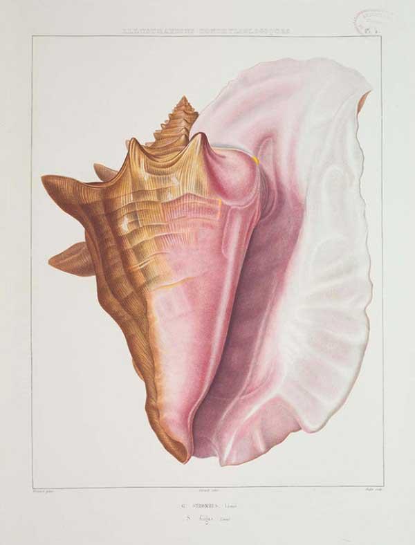 Caracol reina del Caribe (Lobatus gigas)