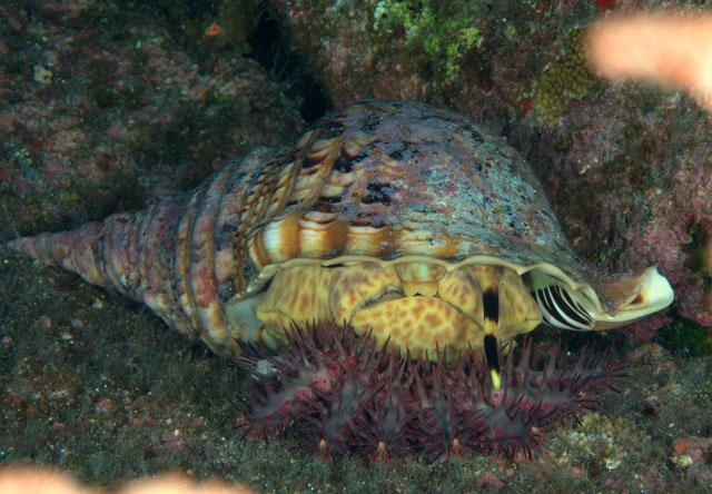 caracol tritón y una estrella de mar corona de espinas