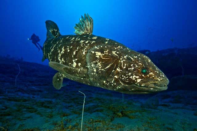 un celacanto moderno