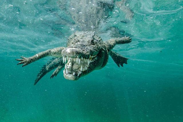 cocodrilo marino en Cuba