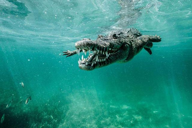 cocodrilo marino fotografiado en Cuba