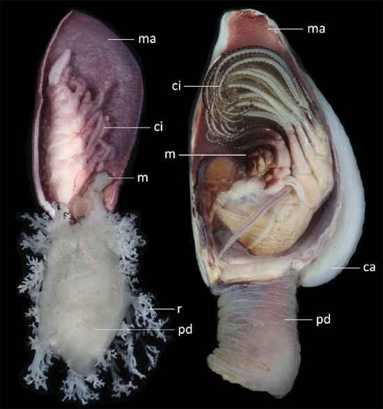 comparación del pedunculo de un percebe común y un Anelasma squalicola