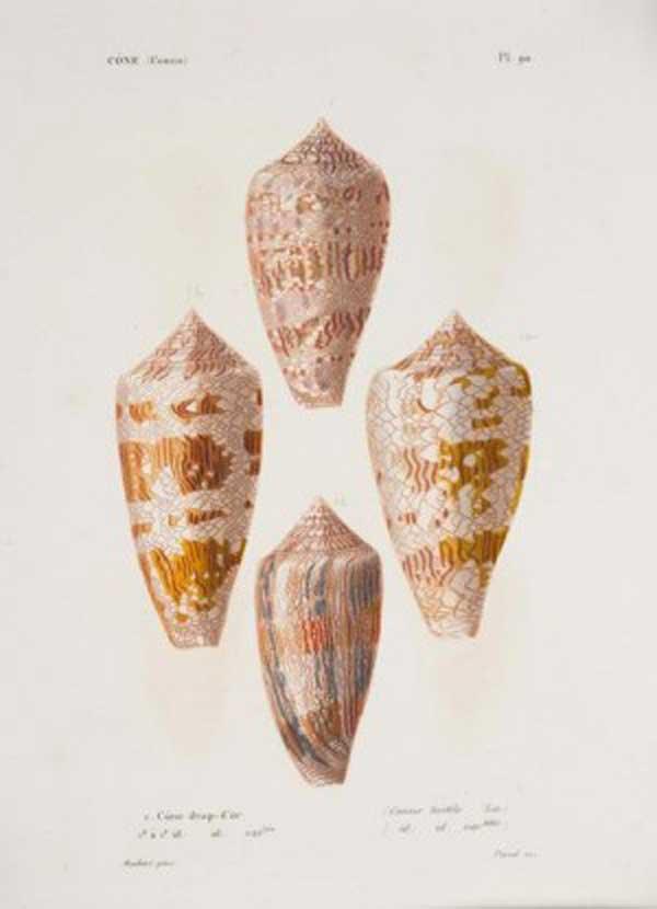 Caracol cono (Conus textile)