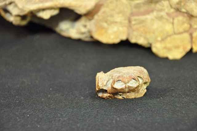 cráneo delante del caparfazón del fósil de Arvinachelys goldeni