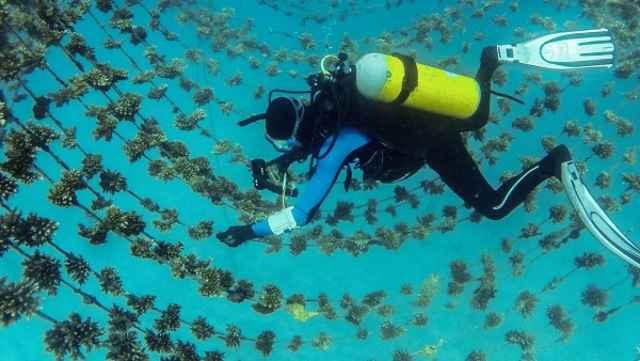 criadero de arrecifes de coral