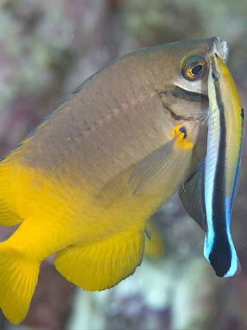 damisela con un pez limpiador