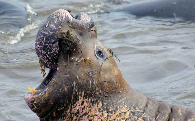 elefante marino de California