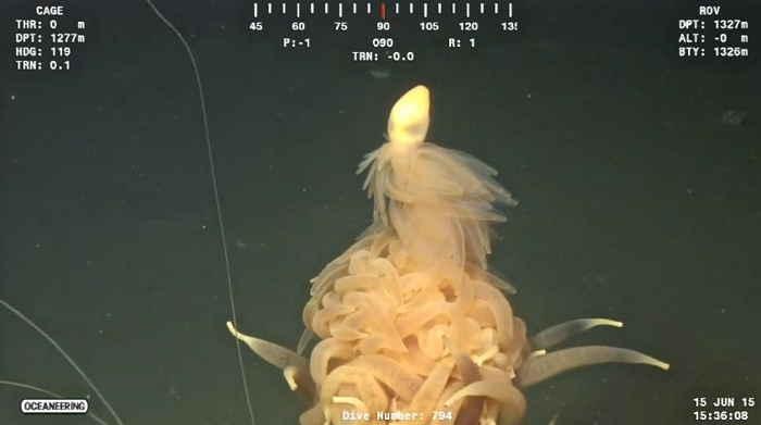 monstruo espagueti volador Bathyphysa conifera