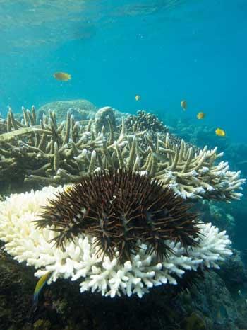 estrella de mar corona de espinas sobre un coral