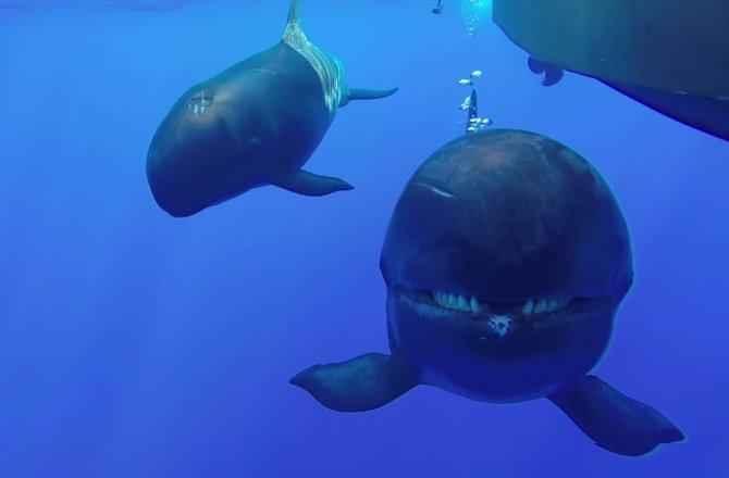 falsa orca sonrie a la camara