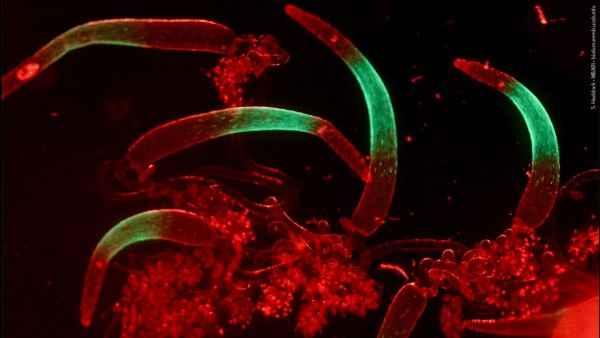fluorescencia en un sifonóforo