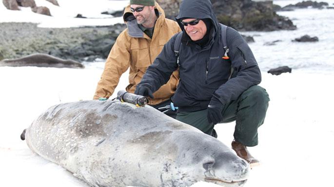 foca leopardo equipada con Crittercam