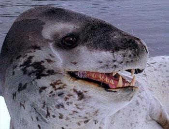 foca leopardo (Hydrurga leptonyx)