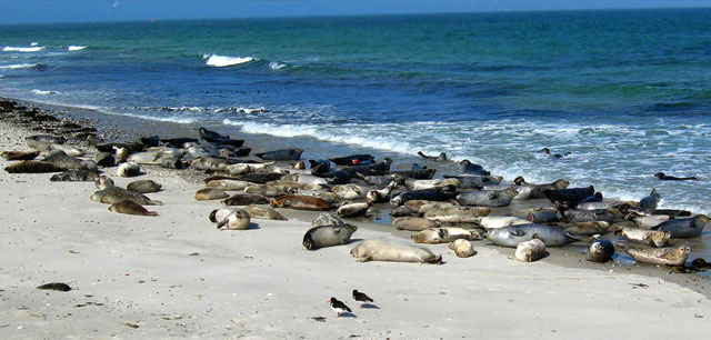 focas de puerto (Phoca vitulina)