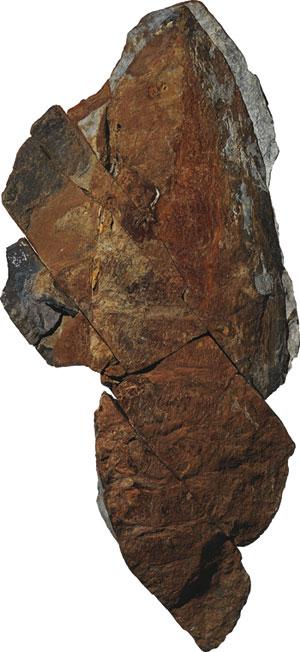 fósil de anomalocaridido