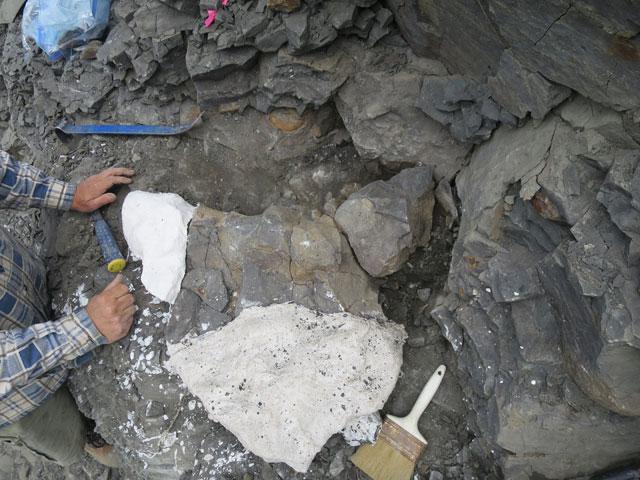 fósil de elasmosauro encontrado en Alaska