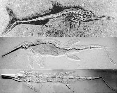 fósil de ictiosaurio Etenopterygius