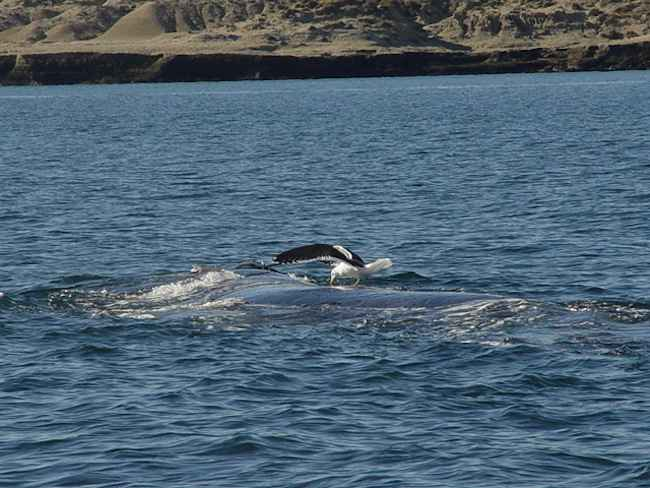 gaviota picotea a una ballena