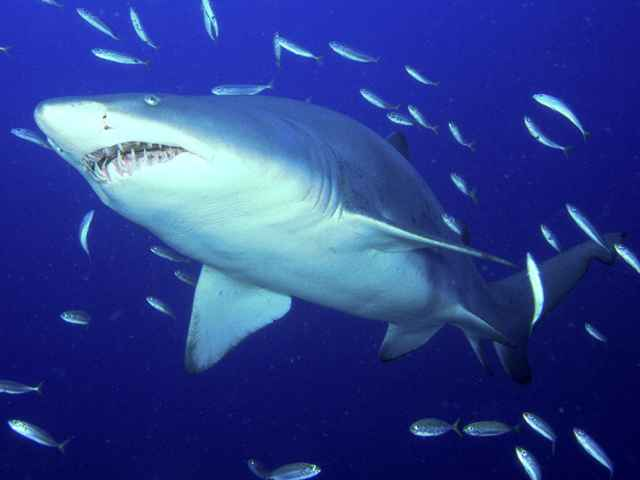 gran tiburón blanco predador