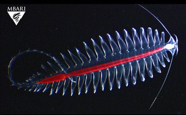 gusano Tomopterid