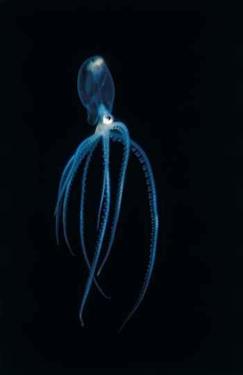 hembra de tremoctopus o pulpo manta