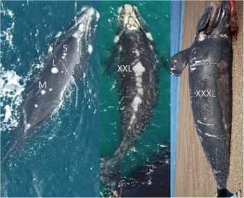 heridas en la espalda de las ballenas