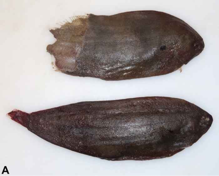 lenguado común (Solea solea) extraído de ballena piloto hembra