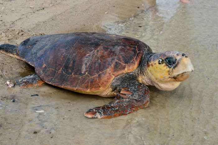 liberación de una tortuga en Australia