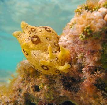 liebre de mar (Aplysia dactylomela)