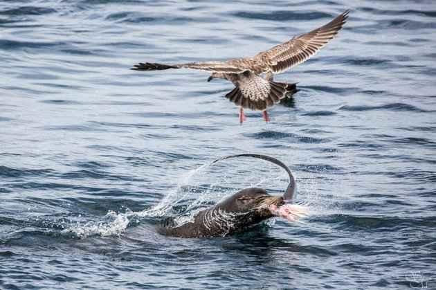 lobo marino devora a un tiburón
