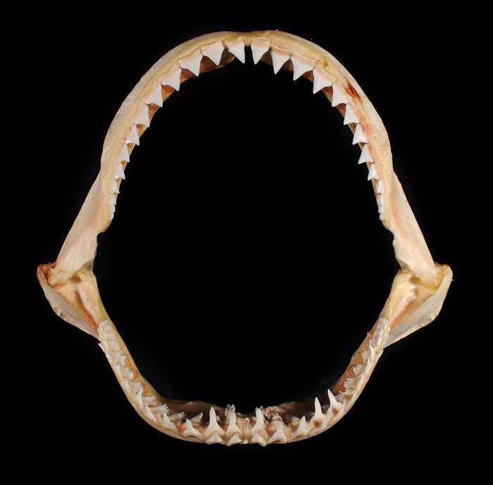 mandíbula de Glyphis glyphis