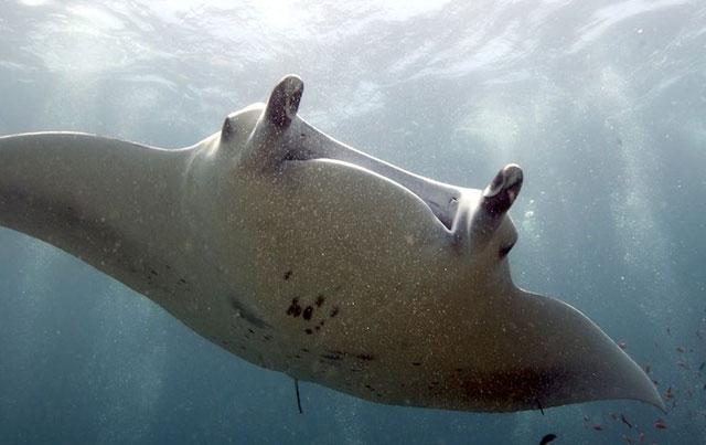 manta raya gigante en Filipinas