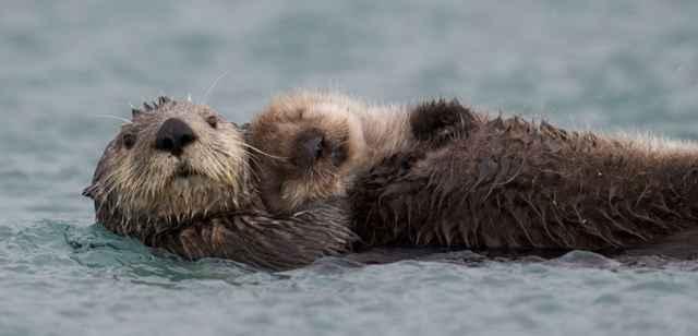 nutria marina de Alaska