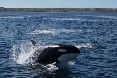 orca cazando en Puerto Madryn