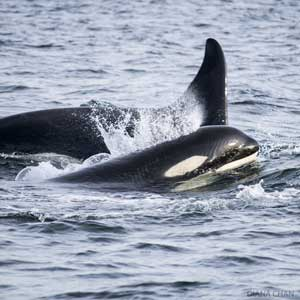 orcas en Great Bear Sea, Canadá