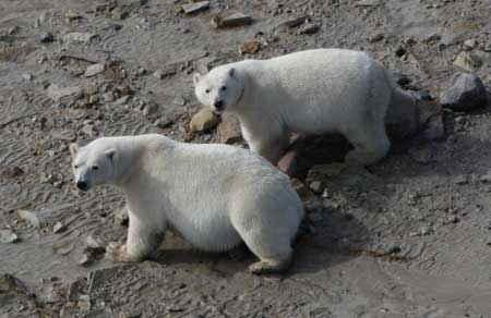 osos polares en tierra