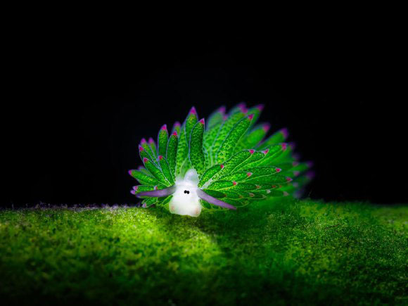 oveja de mar (Costasiella Kuroshimae)
