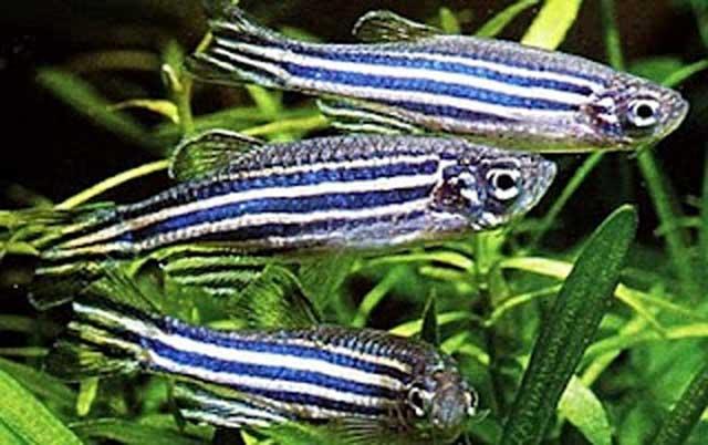 peces cebra (Danio rerio)