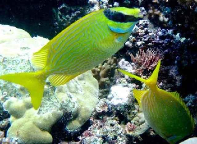 pareja de peces conejo