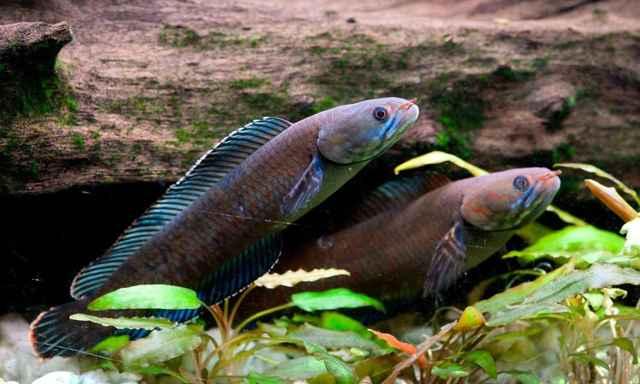 pez que camina descubierto en el Himalaya