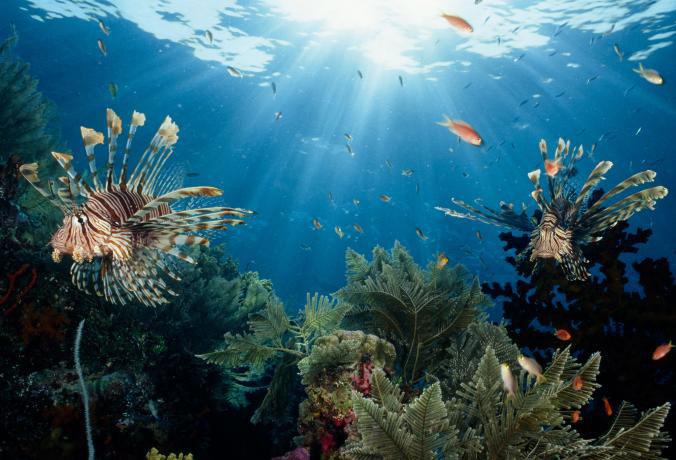 pez león en arrecife de Indonesia