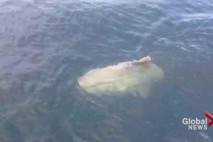 pez luna varado en canadá