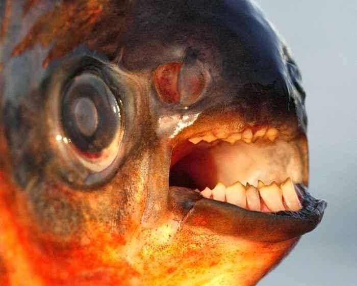dientes humanos del pez pacú