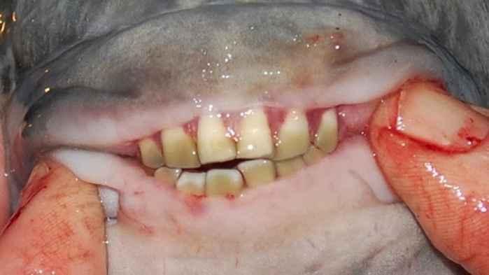 detalle de los dientes humanos del pez pacú